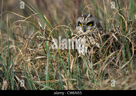 short-eared owl (Asio flammeus), well camouflaged in her hide, Austria, Burgenland - Stock Photo