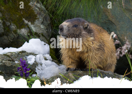 alpine marmot (Marmota marmota), in snow with flowering Aconitum , Austria, NP Hohe Tauern, Grossglockner - Stock Photo