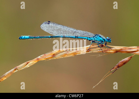 dragonfly with morning dew sitting on a grass ear, Germany, Rhineland-Palatinate - Stock Photo