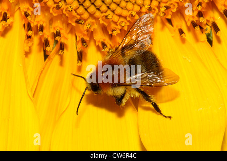 carder bee, common carder bee (Bombus pascuorum, Bombus agrorum), Bumble-bee on sunflower, Germany - Stock Photo