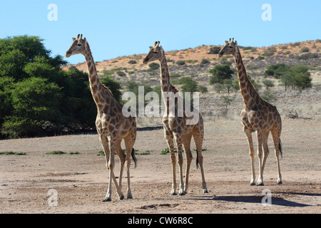 giraffe (Giraffa camelopardalis), three animals walking through the steppe side by side, South Africa, Kgalagadi - Stock Photo