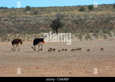 ostrich (Struthio camelus), family with several chicks is walking through the steppe one after another, South Africa, - Stock Photo