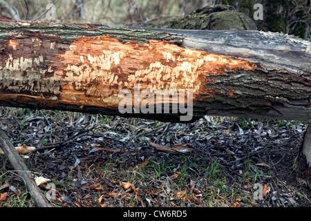 Eurasian beaver, European beaver (Castor fiber), burrows at a tree trunk, Germany, Schleswig-Holstein - Stock Photo