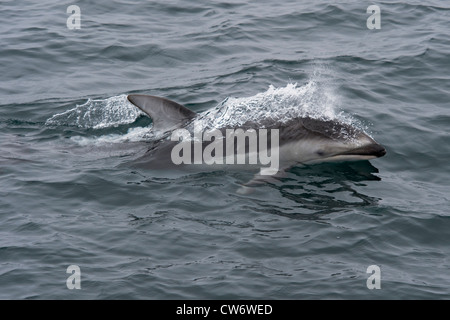 Pacific White-sided dolphin (Lagenorhynchus obliquidens), surfacing. Monterey, California, Pacific Ocean.