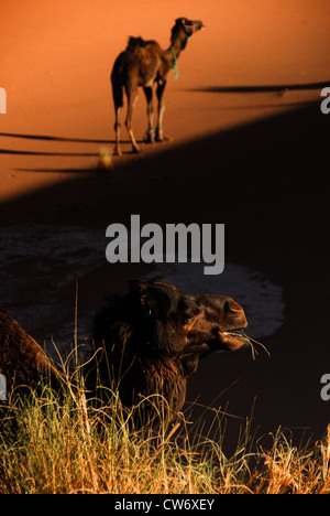 Camels rest and feed in the shade of a sand dune in the Western Sahara - Stock Photo
