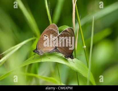 Ringlet butterfly pair mating, Aphantopus hyperantus - Stock Photo