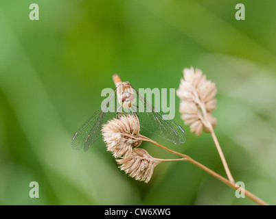 Head-on view of female Common Darter dragonfly - Stock Photo
