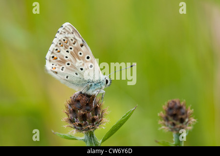 Side view of male Chalkhill Blue butterfly showing underside of wings - Stock Photo