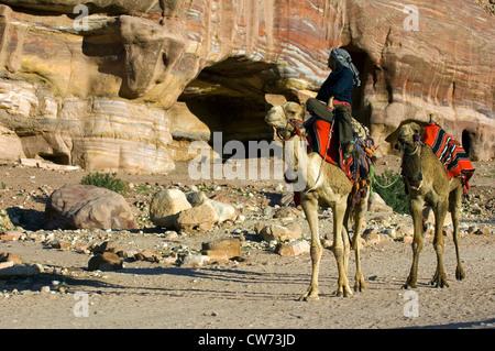 dromedary, one-humped camel (Camelus dromedarius), bedouin with two mount dromedars, Jordan, Petra - Stock Photo