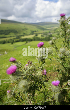 Thistles growing above the village of Litton, Littondale, Yorkshire Dales, United Kingdom, with Pen-y-Ghent in the - Stock Photo