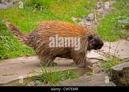 North American porcupine (Erethizon dorsatum), on the ground - Stock Photo
