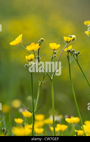 Meadow buttercup, Ranunculus repens. UK. - Stock Photo