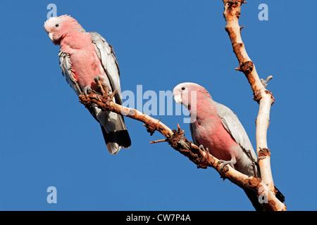 Galah Cockatoos (Cacatua roseicapilla), Kakadu National Park, Northern territory, Australia - Stock Photo