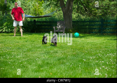 Colorful, humorous image of a middle aged man playing ball with his miniature poodle and toy poodle puppy in the - Stock Photo