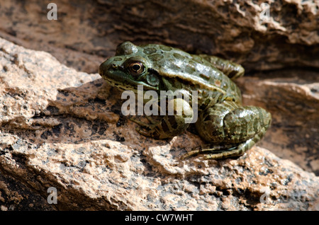 Lowland Leopard Frog, (Lithobates yavapaiensis), captive at the Arizona-Sonora Desert Museum, Pima county, Arizona, - Stock Photo