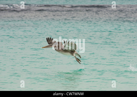 Ecuador, Galapagos, San Cristobal. Brown Pelican (Pelicanus occidentalis urinator) in flight. - Stock Photo
