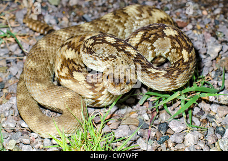 Northern Black-tailed Rattlesnake, (Crotalus molossus molossus), Black Range, Sierra county, New Mexico, USA. - Stock Photo