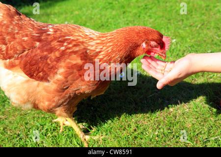 Boy feeding chicken - Stock Photo
