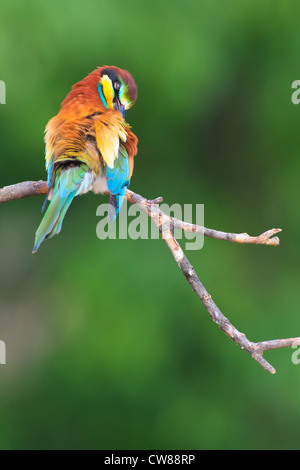 European Bee-eater (Merops apiaster) perched and preening on branch. Lleida. Catalonia. Spain. - Stock Photo