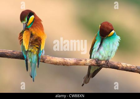 European Bee-eater (Merops apiaster) pair preening on branch. Lleida. Catalonia. Spain. - Stock Photo