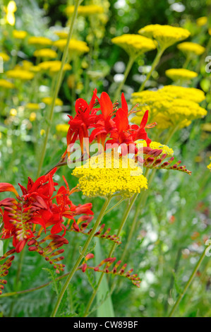 Crocosmia, 'lucifer' and Achilliea, in full flower, - Stock Photo