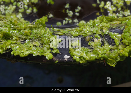 Duckweed (Lemna sp. ). Caught up on the rim of a black plastic bucket. - Stock Photo