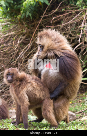 Gelada Baboons (Theropithecus gelada) mating in Simien  Mountains National Park Ethiopia. - Stock Photo