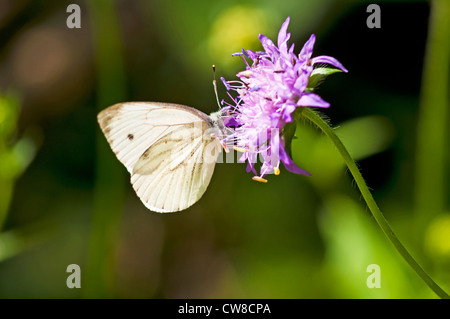 Green-veined white, Pieris napi - Stock Photo