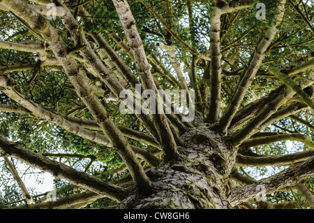 Looking up at the branches of a Nordmann Fir - Stock Photo