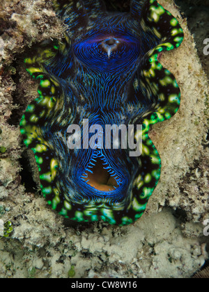 Closeup view of colorful open mouth of a giant clam, Tridacna Maxima, at Great Barrier Reef Marine Park Australia - Stock Photo