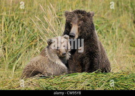 Grizzly Bear mother with cub. - Stock Photo
