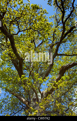 Oak Tree; Quercus robur; newly emerging leaves; spring; Cornwall; UK - Stock Photo
