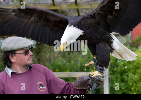 Moreton-in-Marsh:  Bald Eagle - Stock Photo