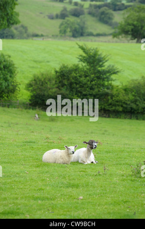 two sheep laying down in the grassy field Derbyshire england uk - Stock Photo
