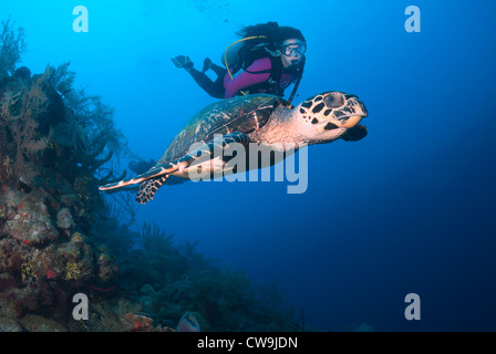 Female Scuba Diver with Hawksbill Turtle Eretmochelys imbricata, Belize, Caribbean Sea, Atlantic Ocean - Stock Photo