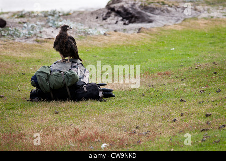 Striated Caracara (Phalcoboenus australis) perched on an unattended photographers backpack on Saunders Island in - Stock Photo