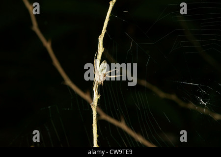 camouflage spider on branch - Stock Photo