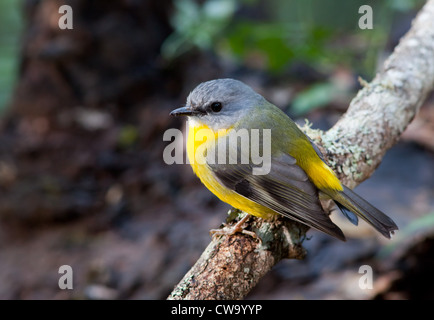 Eastern Yellow Robin, Eopsaltria australis, NSW, Australia - Stock Photo