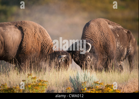 Two bison bulls (Bison bison) battle over a cow during the rut, National Bison Range - Stock Photo