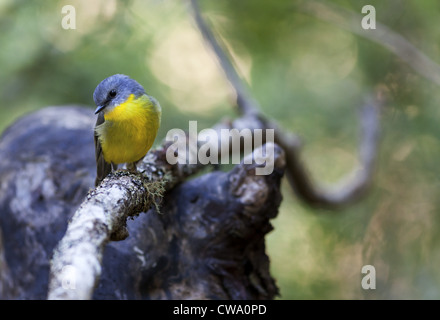 Eastern Yellow Robin, Eopsaltria australis, Australia - Stock Photo