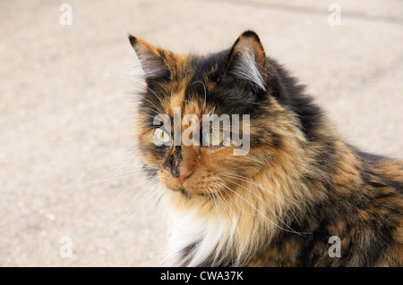 calico cat tortoiseshell staring right cats torbie tabby tortie torty domestic spotted coat calimanco clouded - Stock Photo