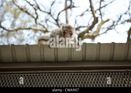 Wild long tailed macaque on roof, low angle Stock Photo