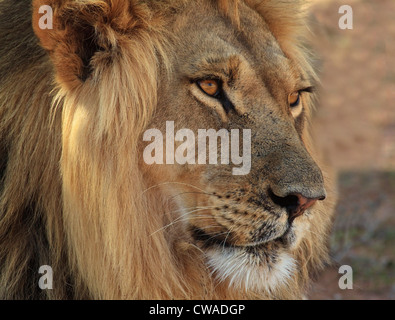 Lion portrait, Kgalagadi Transfrontier Park, Africa - Stock Photo
