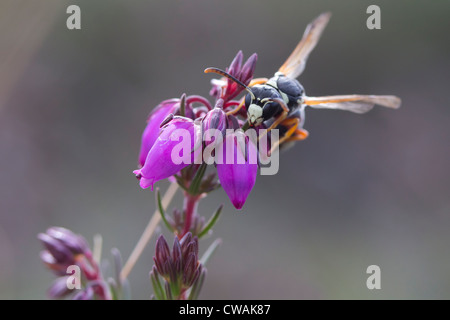 Purbeck mason wasp (Pseudepipona herrichii) on bell heather. Godlingston Heath, Isle of Purbeck, UK. - Stock Photo