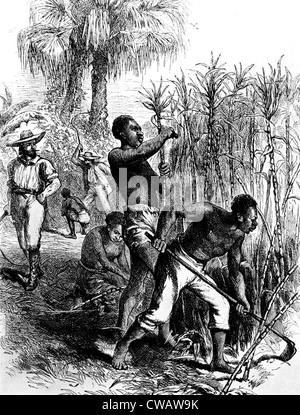 Slaves harvesting sugar cane. Courtesy: CSU Archives / Everett Collection - Stock Photo