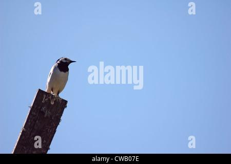 White Wagtail (Motacilla Alba) bird over blue sky background - Stock Photo