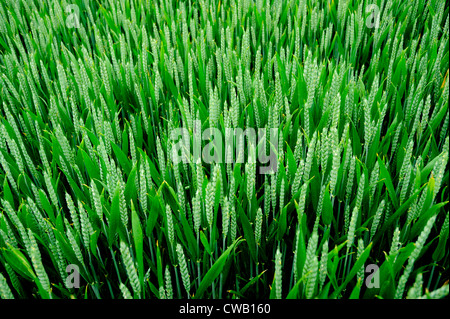 A FIELD OF GREEN WHEAT , OR  WHEATFIELD - Stock Photo