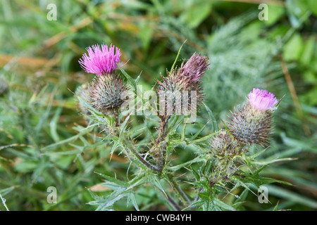 spear thistle cirsium vulgare with water droplets lisburn northern ireland uk - Stock Photo