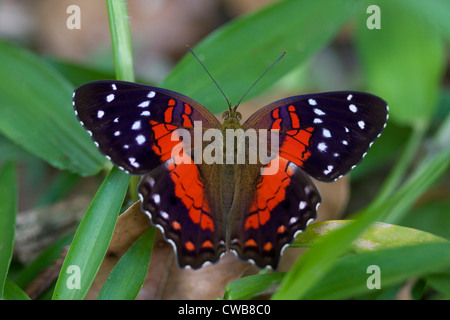 BROWN or SCARLET PEACOCK (Anartia amathea) Burro-Burro river, Iwokrama forest reserve, Guyana. - Stock Photo