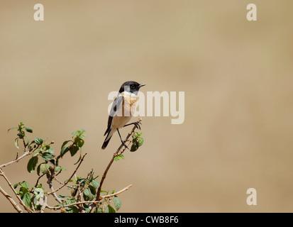 Siberian Stonechat or Asian Stonechat (Saxicola maurus) - Stock Photo
